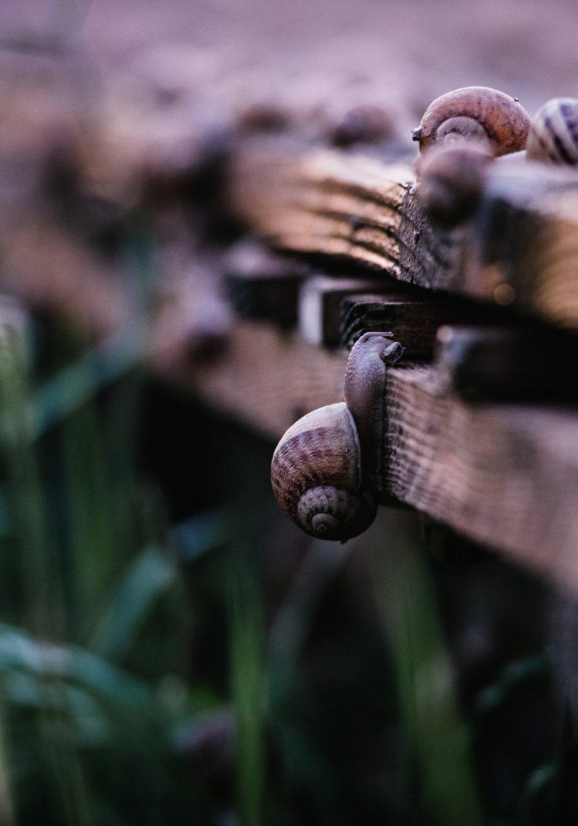 Elevage d'escargots en savoie